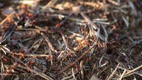 De mieren werken in een mierenhoopbeweging die rond lopen, op het werk, geluid van vogels zingend een nachtegaal stock videobeelden
