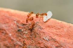 De mierenmacht van de brand Stock Afbeeldingen