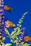 De Migratie van de monarch Stock Fotografie