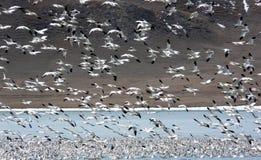 De Migratie van de sneeuwgans Stock Afbeeldingen
