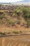 De migratie van grote kudden van het meest wildebeest op Mara River afrika Royalty-vrije Stock Afbeeldingen