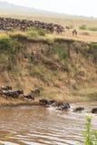 De migratie van grote kudden van meest wildebeest Kenia, Afrika royalty-vrije stock afbeeldingen