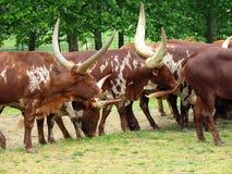 De migratie van het vee Royalty-vrije Stock Afbeeldingen