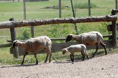 De migratie van schapen Royalty-vrije Stock Afbeelding