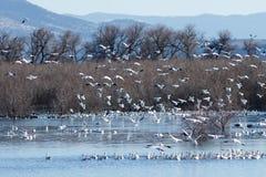 De migratie van sneeuwganzen stock afbeeldingen