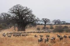 De migratie van Wildebeest stock fotografie