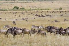 De migratie van Wildebeest in Masai Mara. Royalty-vrije Stock Afbeelding