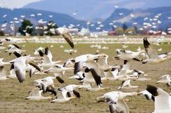 De migrerende Ganzen van de Sneeuw tijdens de vlucht Stock Fotografie