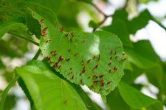 De mijt van de lindeschaafwond, een ongedierte op de bladeren van de bomen royalty-vrije stock afbeeldingen