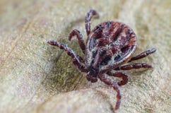 De mijt zit op een droog blad, een gevaarlijke parasiet en een drager van besmettingen stock afbeelding
