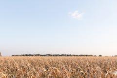 De milho dos campos da paisagem campos de milho fora fotografia de stock