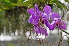 De Mimosa van Florida in Bloei stock foto