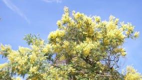 De mimosalente bloeit Pasen-achtergrond E 4k, langzame motie stock videobeelden