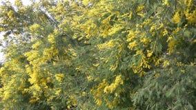 De mimosalente bloeit Pasen-achtergrond Tot bloei komende mimosaboom tegen een hemel 4k, langzame motie stock videobeelden