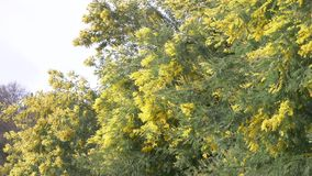 De mimosalente bloeit Pasen-achtergrond Tot bloei komende mimosaboom tegen een hemel 4k, langzame motie stock video