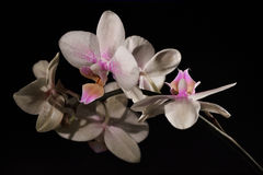 De mini witte roze kleur van orchideephalenopsis Stock Foto