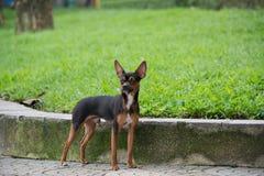De Miniatuurpinscher-hond die zich in het park bevinden Royalty-vrije Stock Foto