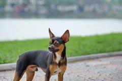 De Miniatuurpinscher-hond die zich in het park bevinden Stock Afbeeldingen