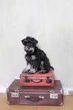 De miniatuurzitting van het schnauzerpuppy op koffers Royalty-vrije Stock Afbeeldingen