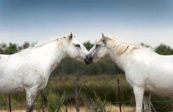 De minnaars van het paard Royalty-vrije Stock Foto's