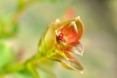 De mirte tedere spruit van de rouwband Royalty-vrije Stock Foto