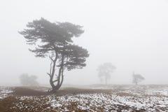 De mistige de pijnboombomen en sneeuw in de winter leggen dichtbij zeist in Ne vast Royalty-vrije Stock Afbeelding