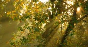 De mistige ochtend met gouden licht die door bomen glanzen heeft dromerig Royalty-vrije Stock Afbeeldingen