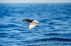 De Mobulastraal is sprongen uit het water mexico Overzees van Cortez Royalty-vrije Stock Afbeelding