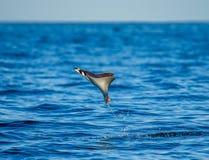 De Mobulastraal is sprongen uit het water mexico Overzees van Cortez Stock Fotografie
