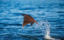 De Mobulastraal is sprongen uit het water mexico Overzees van Cortez Stock Afbeelding