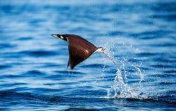 De Mobulastraal is sprongen uit het water mexico Overzees van Cortez Royalty-vrije Stock Foto