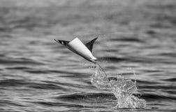 De Mobulastraal is sprongen uit het water mexico Overzees van Cortez Stock Foto