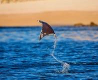 De Mobulastraal is sprongen uit het water mexico Overzees van Cortez Stock Afbeeldingen