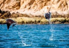 De Mobulastralen zijn sprongen uit het water mexico Overzees van Cortez Stock Foto's