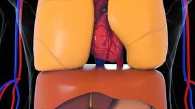 De model, 3d teruggevende achtergrond van het anatomie menselijke lichaam, een deel van menselijk lichaamsmodel met orgaansysteem stock footage