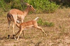 De moeder en de baby van de impala Stock Afbeelding