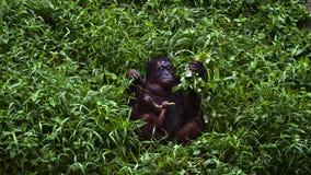 De moeder en de baby van de orangoetan royalty-vrije stock afbeelding