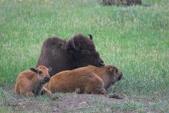 De moeder en de kalveren van de bizon royalty-vrije stock foto's