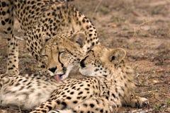 De moeder en de welp van de jachtluipaard Royalty-vrije Stock Foto