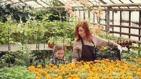 De moeder en de dochter kiezen bloemen in serre en zetten hen in plastic container Ruime serre stock video