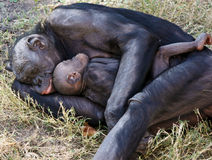 De moeder en het kindslaap van Bonobo in gras Stock Foto's