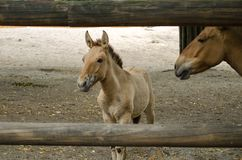 De moeder en de zoon van Przewalski` s paarden royalty-vrije stock foto's