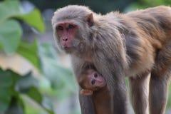 De moeder van de aap met Baby Royalty-vrije Stock Afbeeldingen