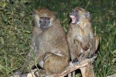 De moeder van de baviaan en haar babyzitting op een boom Stock Fotografie