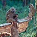 De moeder van de baviaan voedt de babyzitting in een boom Royalty-vrije Stock Afbeeldingen