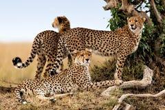 De moeder van de jachtluipaard en twee jonge degenen, Masai Mara Stock Afbeeldingen