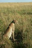 De moeder van de jachtluipaard met welpen Stock Foto