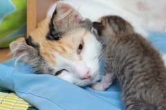 De moeder van de kat en zijn katje Royalty-vrije Stock Afbeelding