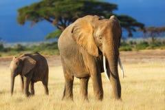 De moeder van de olifant met kalf Stock Afbeeldingen