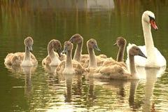 De moeder van de zwaan en babys op het meer Royalty-vrije Stock Foto